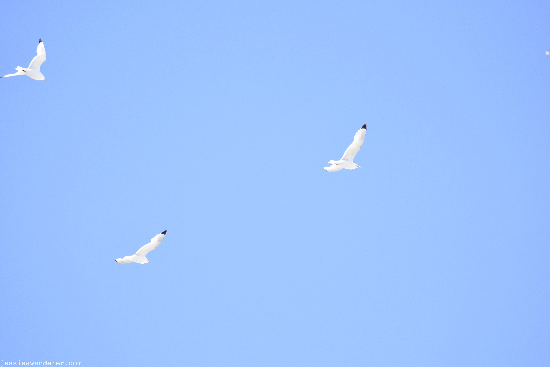 Kittiwakes Flying