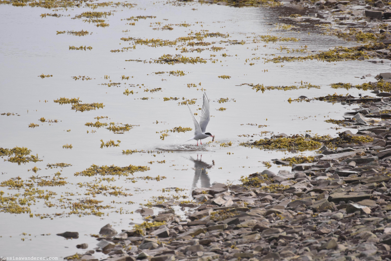 Arctic Tern Reflection