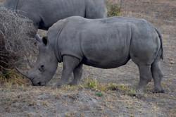 Hello Little Rhino