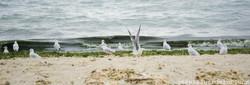 Seagulls Dipping