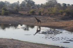 Giraffe Reflection at Watering Hole
