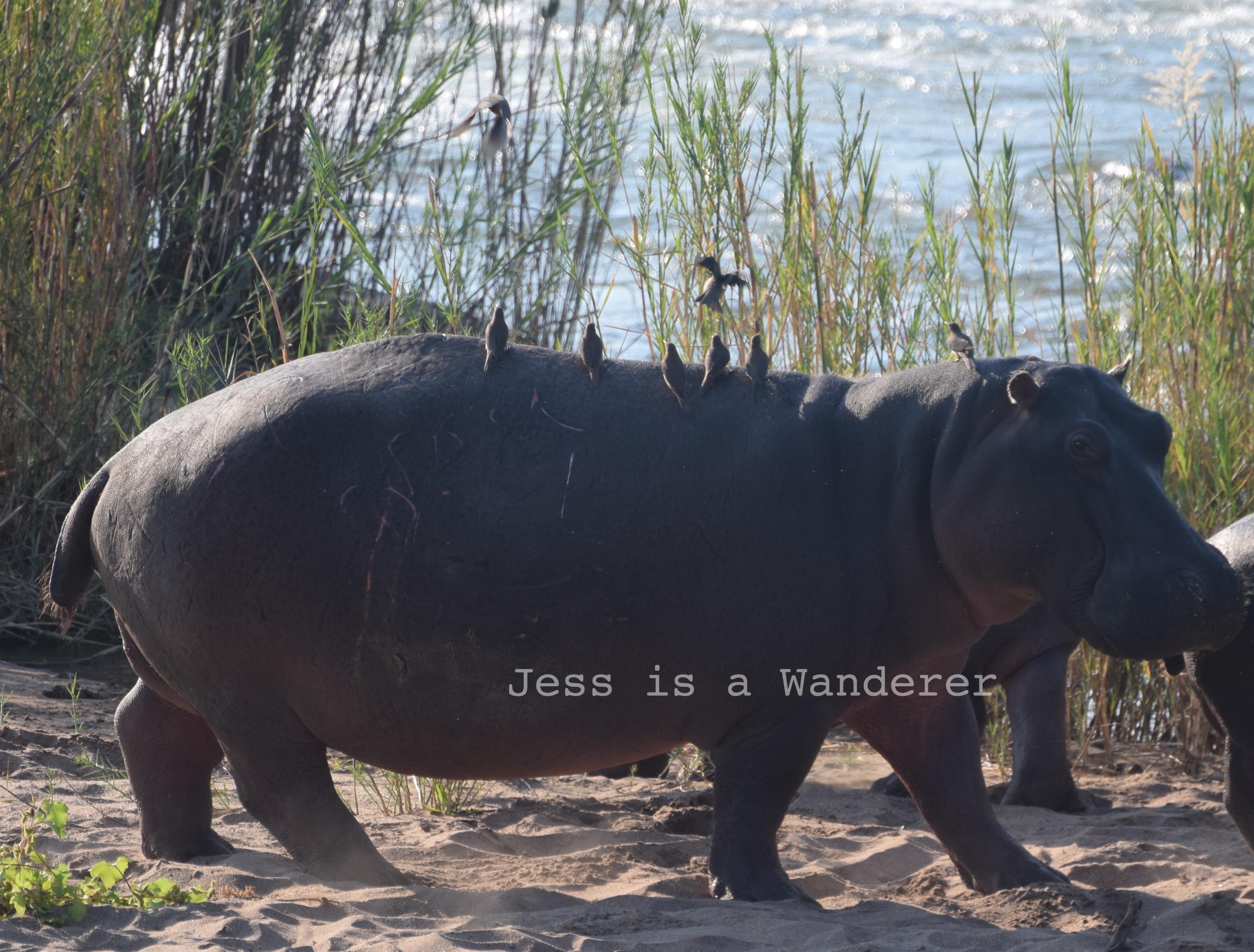 Riding along on a Hippo