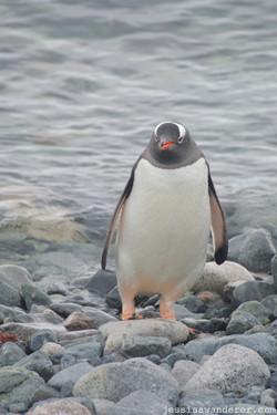Curious Peguin