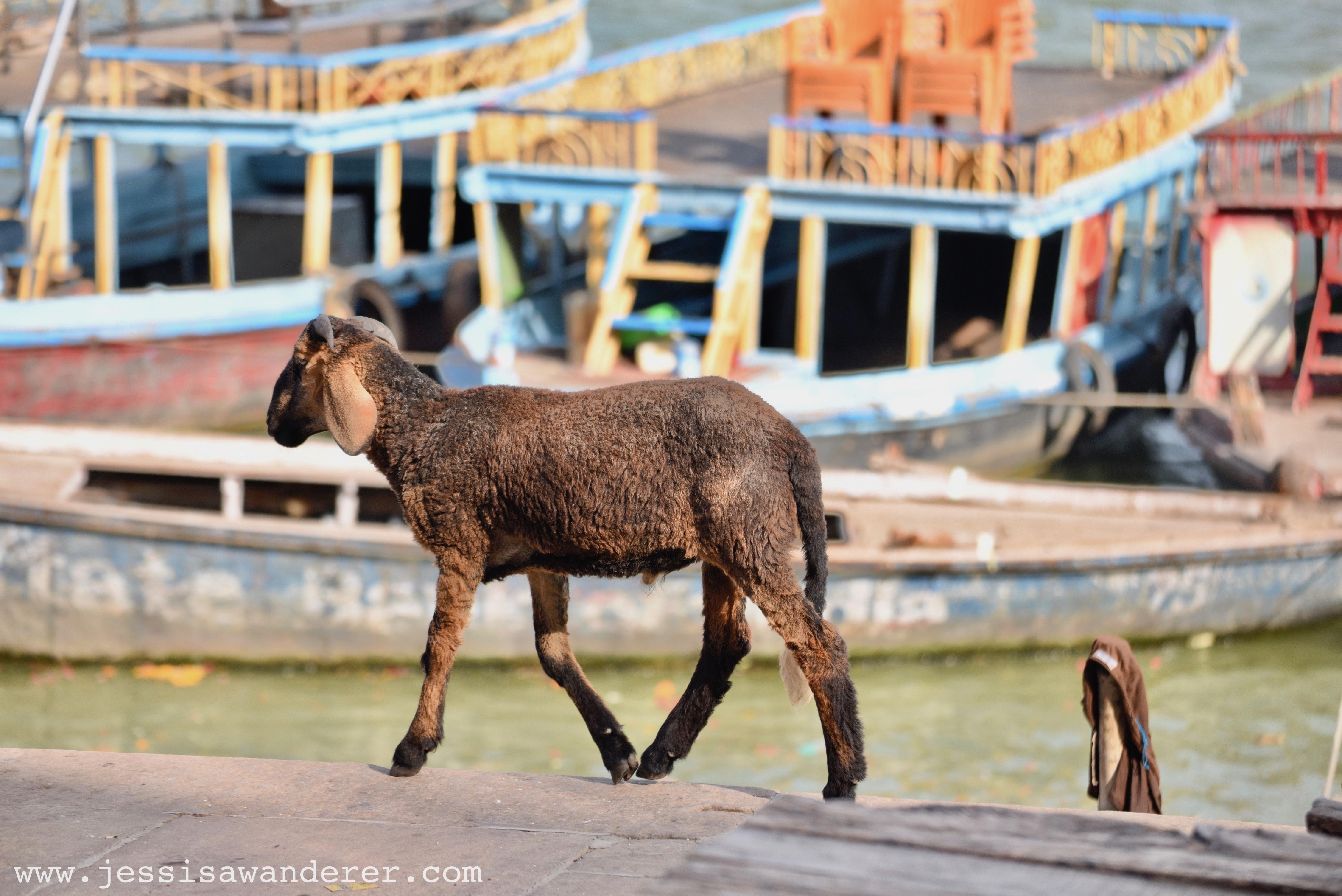 Goat on the move in Varanasi