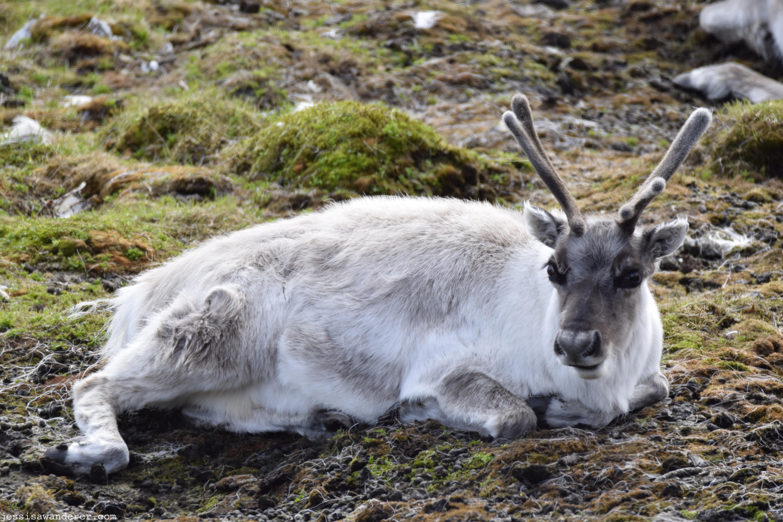 Big Eyed Reindeer