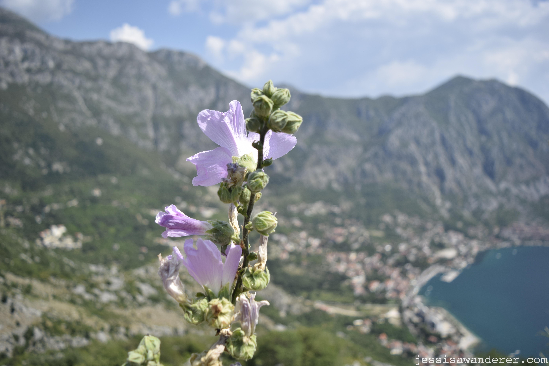 Wildflower over Kotor