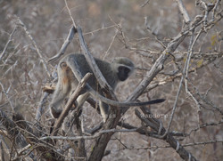 Baboon on the Move