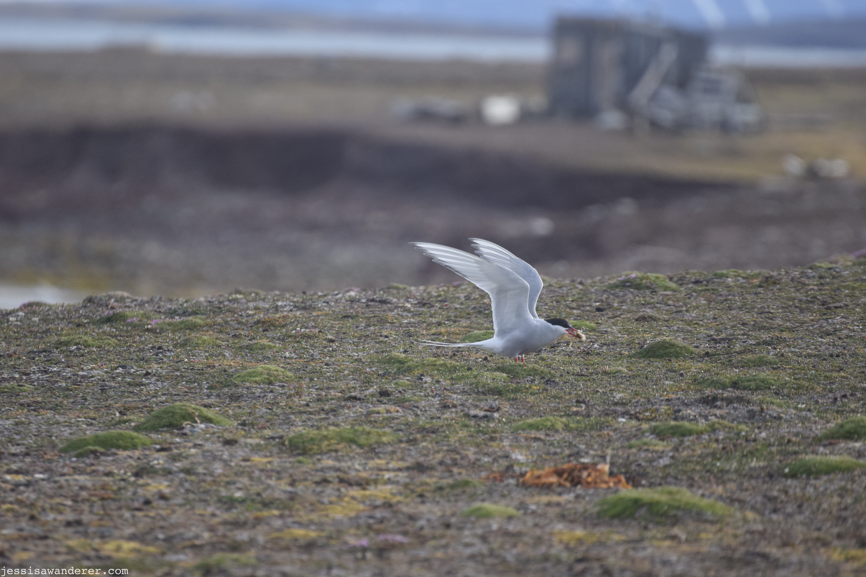 Arctic Tern Eating