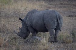 The Beautiful Rhino