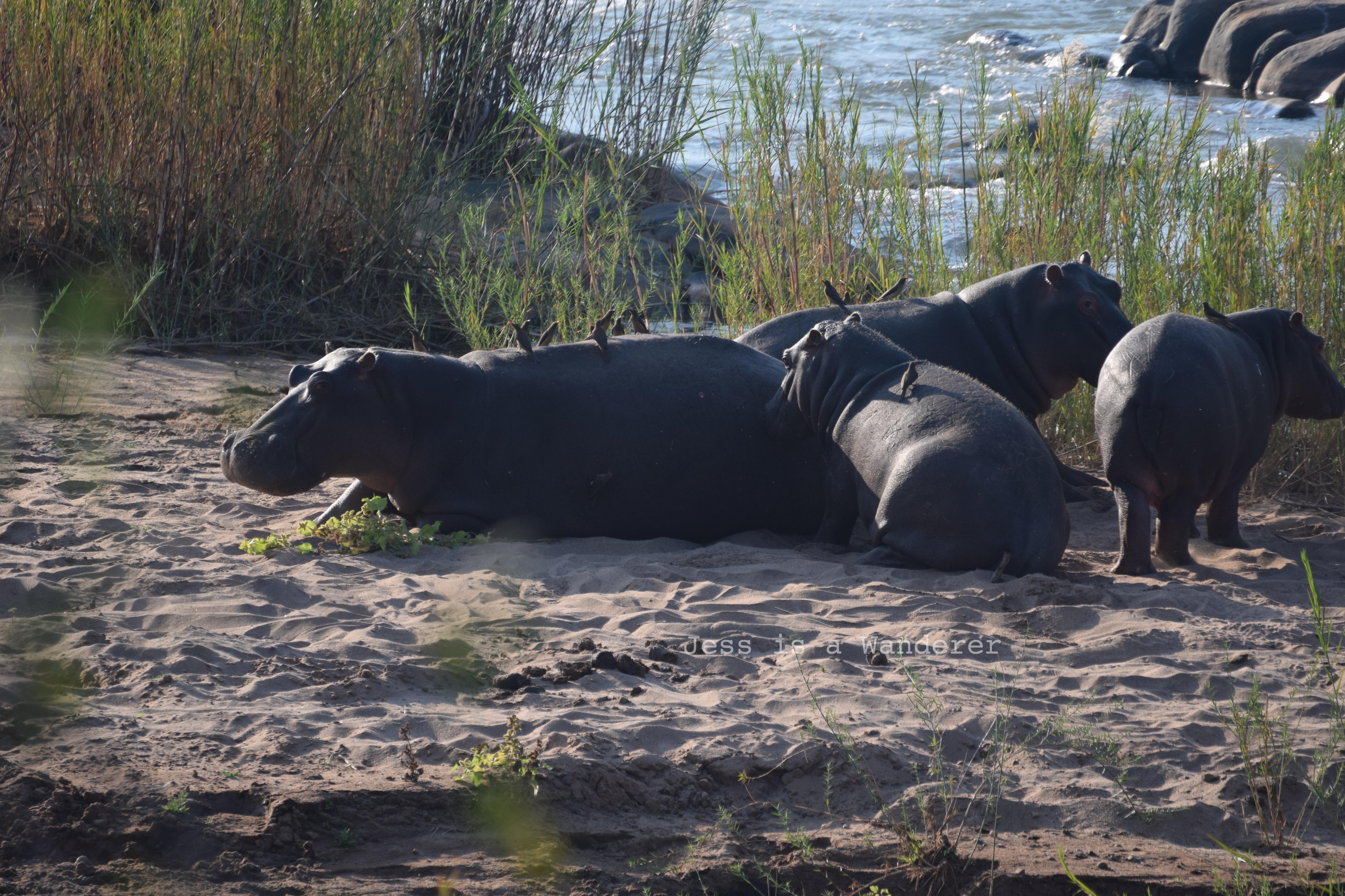 Hippos and Birds in the Sunshine