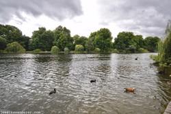 Ducks in St. James Park