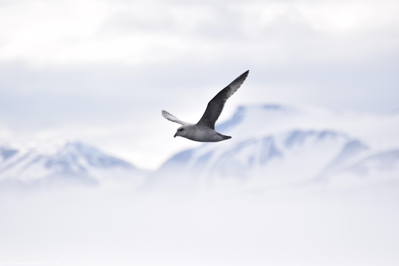 Falmur in Flight