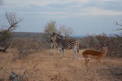 Zebras and Antelopes