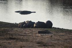 Birds sitting on the Hippos