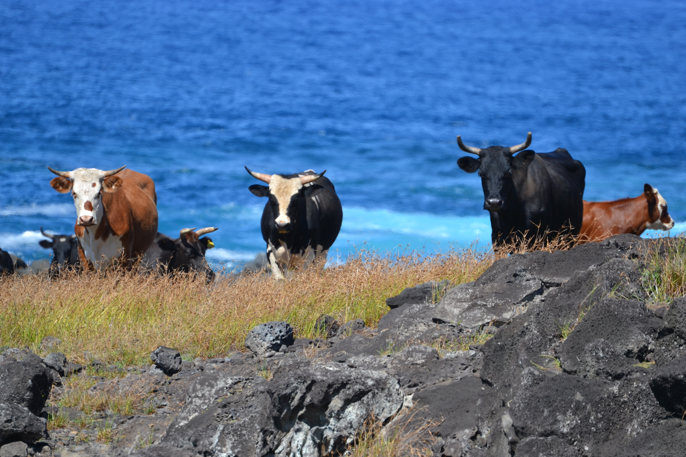 Local Cows