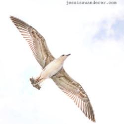 Seagull in Flight, Bulgaria