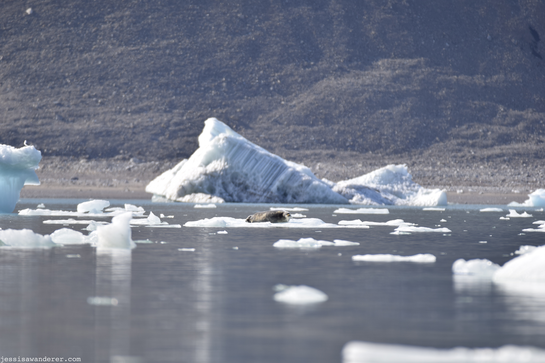 Seal Dozing on Ice