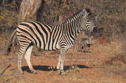 The Zebra and The Warthog