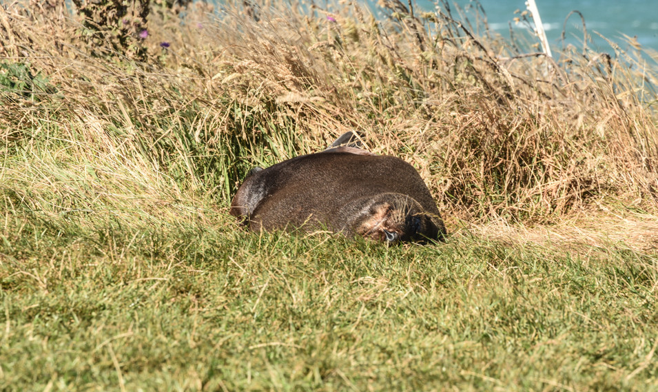 Seal at Katiki Point