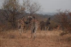 Zebras in the Brush