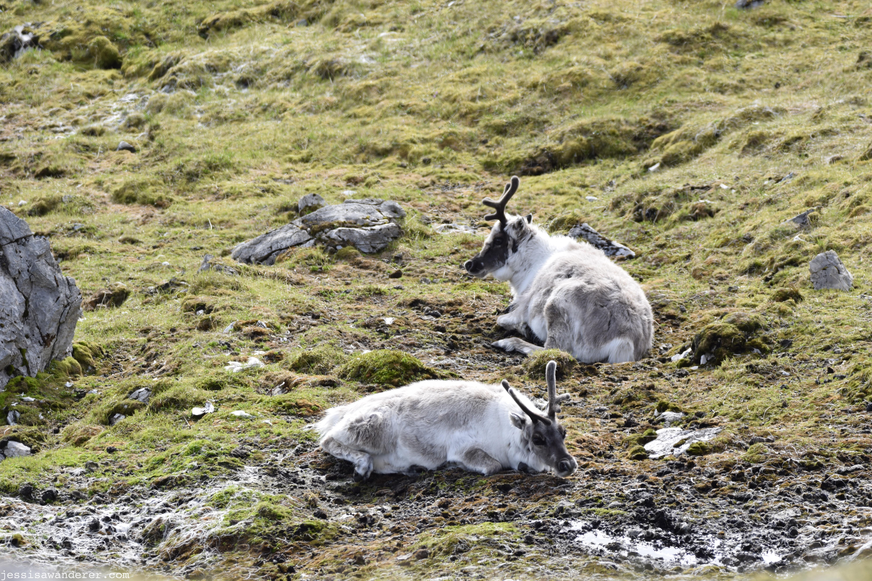 Mountainside Reindeers