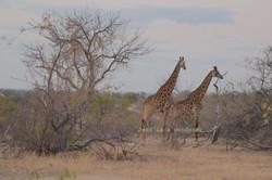 Giraffes on the Move
