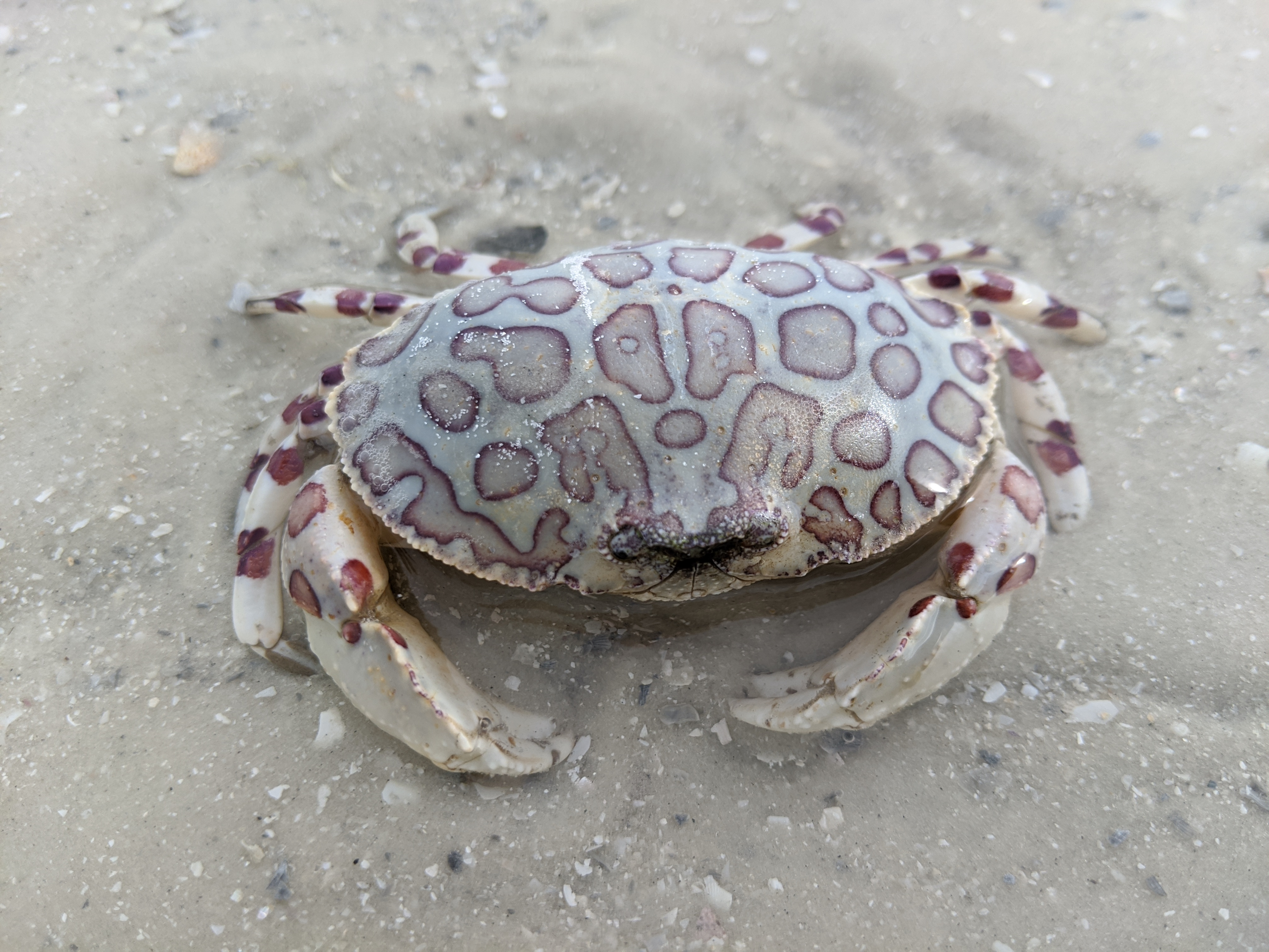 Discovery Leapord Crab