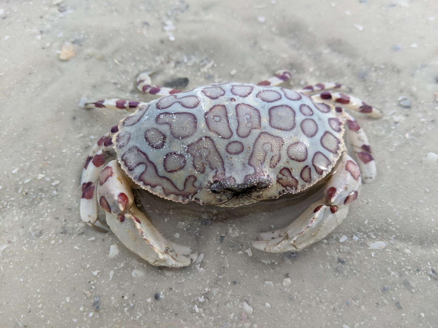 Discover Leapord Crab in the Ten Thousand Islands