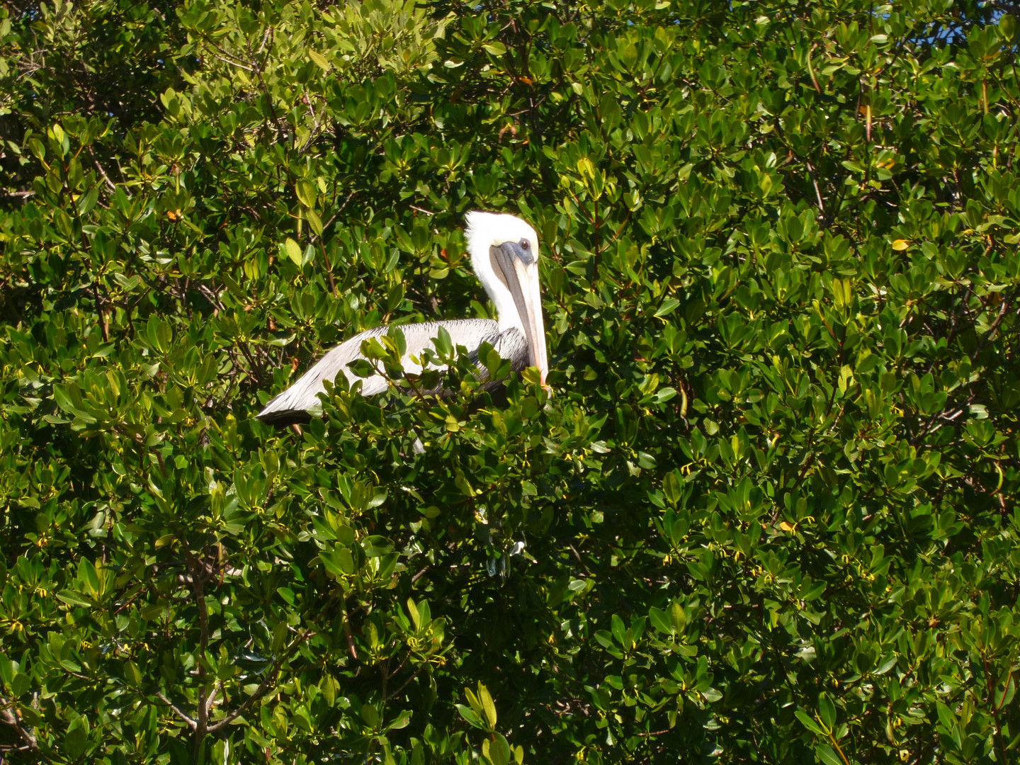 Discover White Pelicans in the Ten Thousand Islands