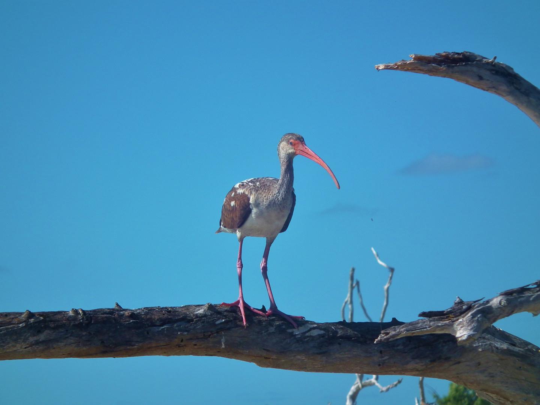Discover Bird Watching in the Ten Thousand Islands