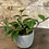 "Thumbnail: hoya carnosa krimson green 4"""