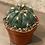 "Thumbnail: matucana oreodoxa cactus 4"""