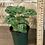 "Thumbnail: maranta leuconeura green 4"""