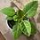 """Thumbnail: ficus altissima 5.5"""""""