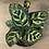 """Thumbnail: calathea peacock 4"""""""