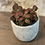 """Thumbnail: fittonia red 4"""""""