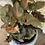 """Thumbnail: syngonium plum allusion 4"""""""