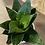 """Thumbnail: birdnest sansevieria trifasciata hahnii 4"""""""
