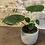 """Thumbnail: ficus umbellata fig tree 4"""""""