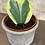 "Thumbnail: hoya kerrii variegata 4"""
