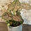 """Thumbnail: syngonium maria allusion 4"""""""