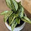 "Thumbnail: calathea elliptica vittata 4"""