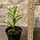 """Thumbnail: ribbon plant lime green 3.5"""""""