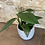 "Thumbnail: epipremnum pinnatum dragon tail 4"""