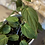 """Thumbnail: philodendron mican 6"""""""