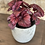 "Thumbnail: begonia redbull all-red 4"""