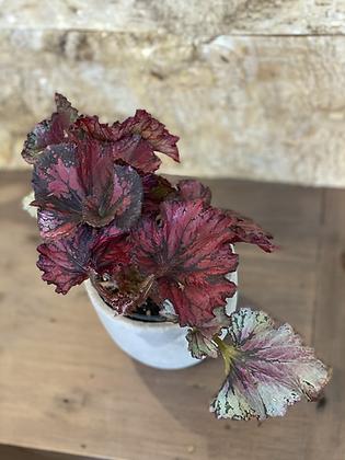 """begonia redbull red-black 4"""""""