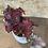 """Thumbnail: begonia redbull red-black 4"""""""