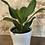 """Thumbnail: ficus benghalensis audrey 6"""""""