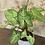 """Thumbnail: syngonium berry allusion 4"""""""